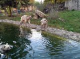 Zoo Heidelberg: Endlich traut sich Braunbärin Gudrun in die neue Außenanlage