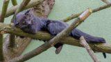 Zoo HD: Deutsch-französische Beziehung bei Binturongs – Wird es die große Liebe?