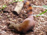 Zoo Heidelberg hofft auf Nachwuchs bei Ringelschwanz-Mungos