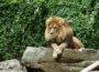 Zoo Heidelberg: Letzte Vorbereitungen für den Baubeginn der Löwenanlage