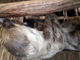 Abhängen mit Mama und Papa – Nachwuchs bei den Faultieren (im Zoo)