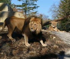 Einzug der Könige in Heidelberg – Löwenanlage im Zoo feierlich eröffnet