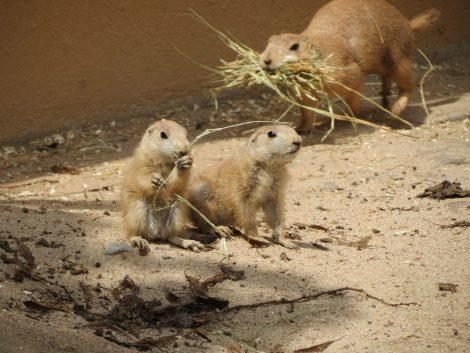 Nachwuchs bei den Präriehunden im Zoo – Sonne lockt Jungtiere aus dem Bau